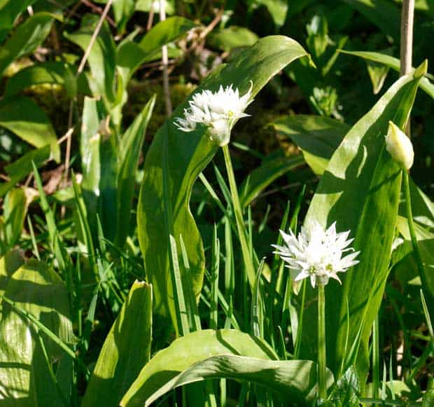 Wild Garlic with flowers