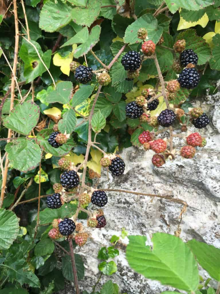 Blackberries 2016