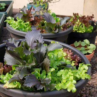 Grow salad bowl lettuce in a pot of tub