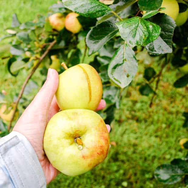two appleas in a hand and apple tree