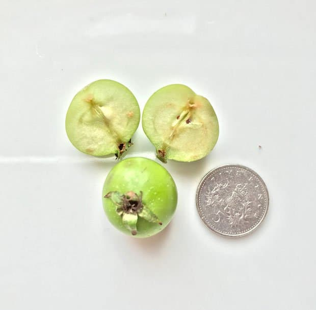 Crab Apples and 5p coin
